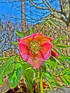xmas-roze01